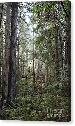 Canvas Print featuring the photograph Muir Woods Tranquility by Sandra Bronstein