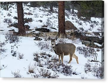 Mule Deer - 8922 Canvas Print