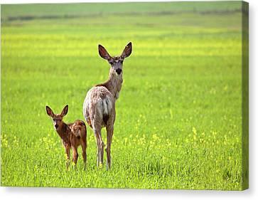 Mule Deer Doe And Fawn Looking Back Over Their Shoulders Canvas Print