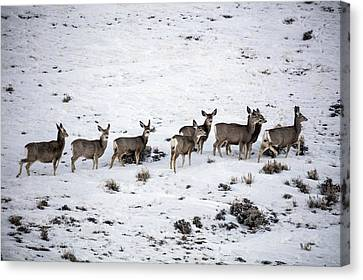 Muledeer Gather On A Snowy Hillside In Sweetwater County In Wyoming Canvas Print by Carol M Highsmith