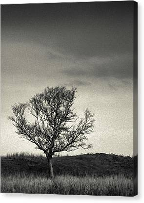 Mull Tree Canvas Print by Dave Bowman