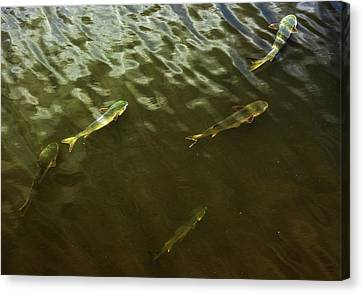 Mullet Fish Canvas Print by Jeff Townsend