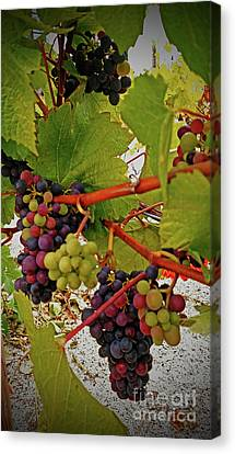 Multi Colored Grapes  Canvas Print by Steven Baier