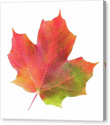 Canvas Print featuring the photograph Multicolored Maple Leaf by Jim Hughes
