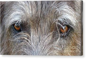 Murphys Gaze Canvas Print