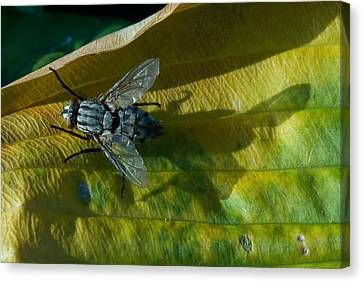 Musca On Display Canvas Print by Douglas Barnett