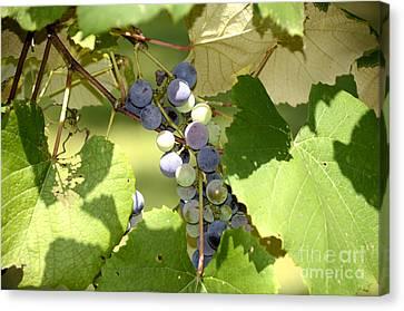 Muscadine Grapes Canvas Print