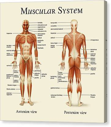 Canvas Print featuring the photograph Muscular System by Gina Dsgn