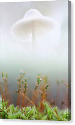 Canvas Print featuring the photograph Mushroom Dreams, Mycena Galericulata by Dirk Ercken