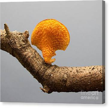 Mushroom Canvas Print by Robert Sander