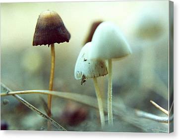 Mushrooms Canvas Print by Don Youngclaus