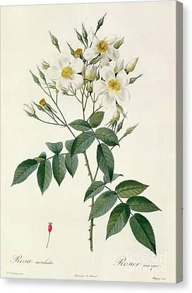 In Bloom Canvas Print - Musk Rose by Pierre Joseph Redoute