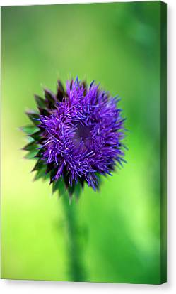 Musk-thistle Canvas Print by Bill Morgenstern