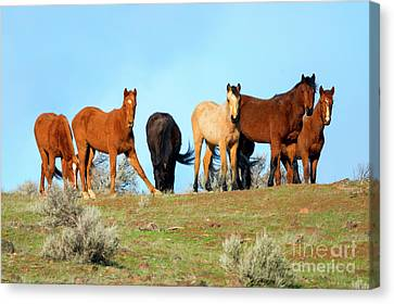 Mustang Herd Canvas Print by Mike Dawson