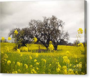 Canvas Print featuring the photograph Mustard And Oaks by Leslie Hunziker