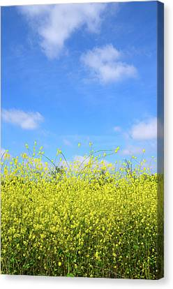 Mustard Beauty Canvas Print by Timothy OLeary