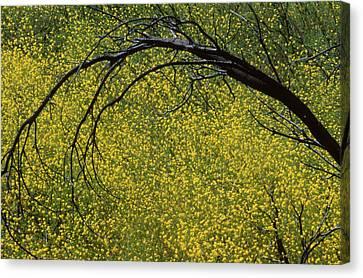 Mustard - Serrano Canyon Canvas Print