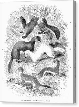Mustelidae Family, 1841 Canvas Print