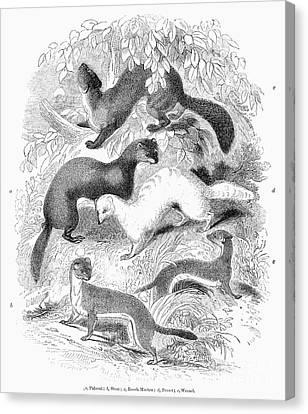 Ferret Canvas Print - Mustelidae Family, 1841 by Granger