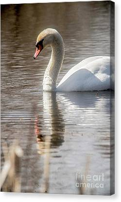 Canvas Print featuring the photograph Mute Swan - 2 by David Bearden