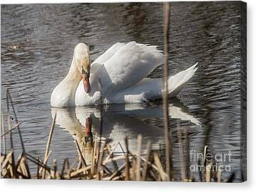Canvas Print featuring the photograph Mute Swan - 3 by David Bearden
