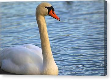 Mute Swan 3 Canvas Print by Mark Platt