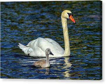 Mute Swan, Cygnus Olor, Mother And Baby Canvas Print