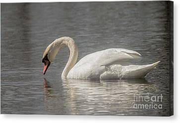 Canvas Print featuring the photograph Mute Swan by David Bearden
