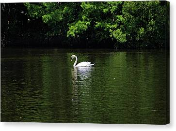 Canvas Print featuring the photograph Mute Swan by Sandy Keeton