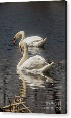 Canvas Print featuring the photograph Mute Swans by David Bearden