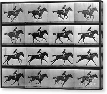 Muybridge Locomotion Racehorse Canvas Print by Photo Researchers