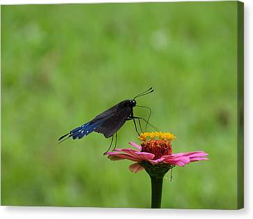 My Butterfly Canvas Print