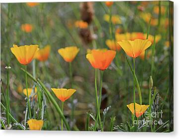 My California Poppies Canvas Print by Tracy Hall