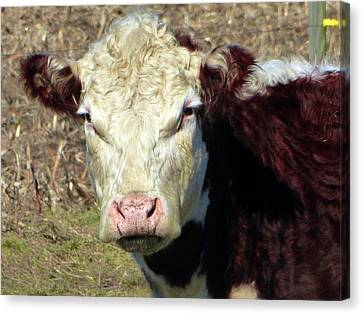 Amish Community Canvas Print - My Favorite Cow by Tina M Wenger