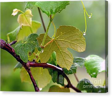 Concord Grapes Canvas Print - My Grapvine by Robert Meanor