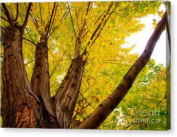 My Maple Tree Canvas Print by James BO  Insogna