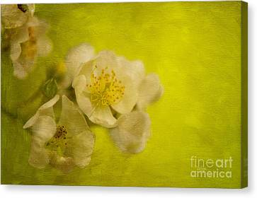 My Sweet Wild Rose Canvas Print by Lois Bryan