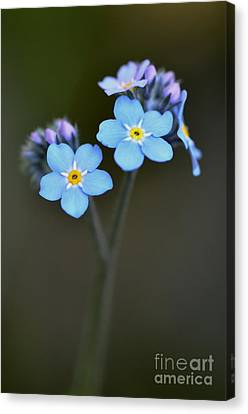 Canvas Print featuring the photograph Myosotis by Sylvie Leandre