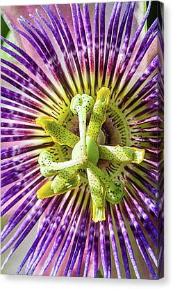 Nails Wounds And Thorns Canvas Print by Dawn Currie
