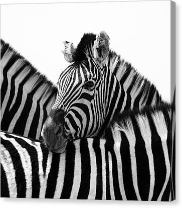 Namibia Zebras IIi Canvas Print by Nina Papiorek