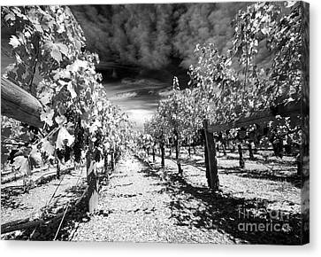 Napa Rows In Bw Canvas Print