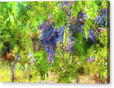Napa Valley Grapes On The Vine Canvas Print