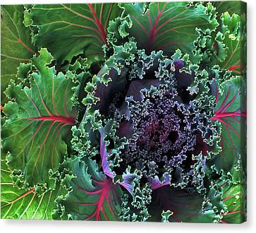 Naples Kale Canvas Print by Lynda Lehmann