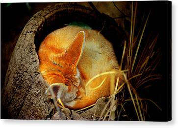 Napping Fennec Fox Canvas Print by Greg Slocum