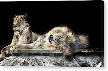 Napping Canvas Print
