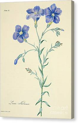 Purple Flowers Canvas Print - Narbonne Blue Flax by Margaret Roscoe