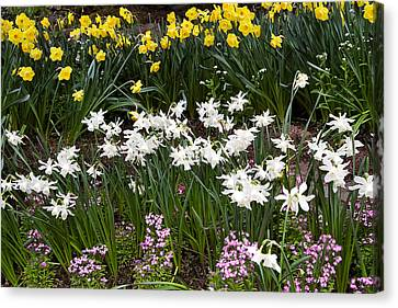 Narcissus And Daffodils In A Spring Flowerbed Canvas Print by Louise Heusinkveld