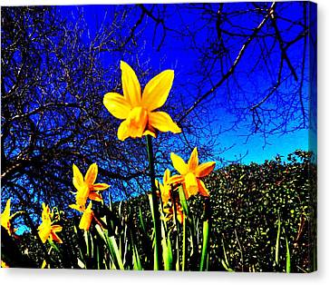 Narcissus Bloom Canvas Print