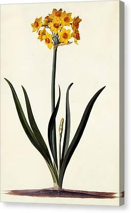 Narcissus Canvas Print by Georg Dionysius Ehret