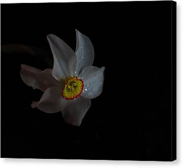 Canvas Print featuring the photograph Narcissus by Susan Capuano